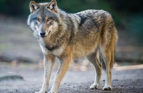 Un loup a été tué sur la commune du Fugeret - Haute Provence Info | Chasse, Braconnage et Droits des Animaux | Scoop.it