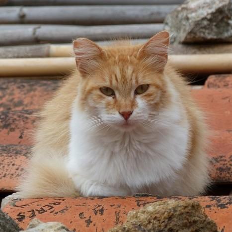 Felis silvestris catus - Chat domestique | Fauna Free Pics - Public Domain - Photos gratuites d'animaux | Scoop.it