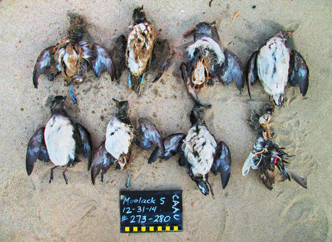 Lost at Sea: Starving Birds in a Warming World | GarryRogers Biosphere News | Scoop.it