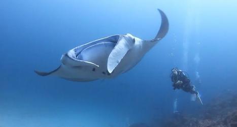 Vidéo plongée HD | Raies manta géantes à Komodo en Indonésie ! | Plongeurs.TV | Scoop.it