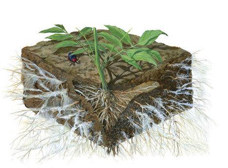 Mycorrhizal Fungi: The Amazing Underground Secret to a Better Garden | Interesting Sciences | Scoop.it