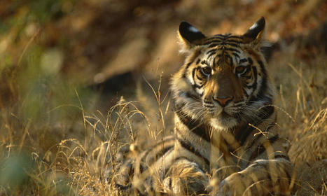 India Reports Nearly 30% Rise in Wild Tiger Population | Stories | WWF | Conservation Success | Scoop.it