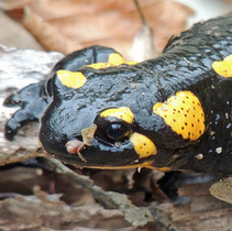 Fire Salamanders in the Netherlands Wiped Out by Newly Discovered Fungus | Extinction Countdown, Scientific American Blog Network | Environment and Conservation News | Scoop.it