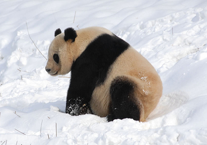 How fussy pandas maintain a balanced bamboo diet | Garry Rogers Nature Conservation News | Scoop.it