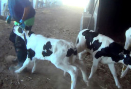 BREAKING: Undercover Investigator Charged With Animal Cruelty for Videotaping Farm Abuse | Dining | Scoop.it