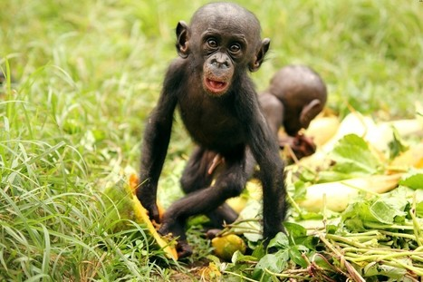 Bonobos Offer Banana Bribes for Friendship | human connectedness and wellness | Scoop.it