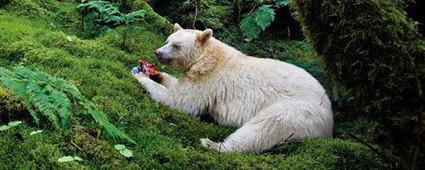 Viaggi in Canada alla scoperta della Spirit Bear Lodge   Viaggi The Wilderness Society   Scoop.it