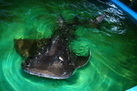 The Pain of Love: Shark Ray Dies from Mating Injuries | All about water, the oceans, environmental issues | Scoop.it