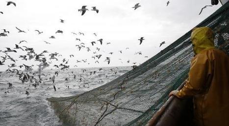 Le retour de la morue des Grands Bancs au large de la Terre-Neuve : un exemple à suivre pour le sauvetage de la vie des espèces | Zones humides - Ramsar - Océans | Scoop.it