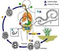 Microbiologia y Parasitologia 2_E Unpa: TRICHIURIS TRICHIURA.   Trichuris trichiura   Scoop.it