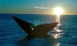 Whaling nations block South Atlantic sanctuary plans | Oceans and Wildlife | Scoop.it
