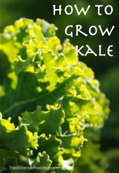 Growing Kale In Your Garden | Gardening @ Traditional Foods | Sustainable Living | Scoop.it