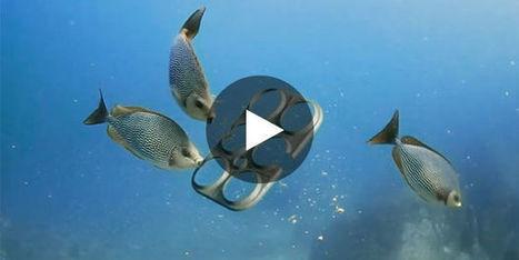 Pour protéger la faune marine, une brasserie invente des porte-canettes comestibles | Carnets de plongée | Scoop.it