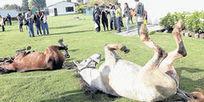 Recuperación de caballos 'zorreros' - eltiempo.com | vida personal | Scoop.it