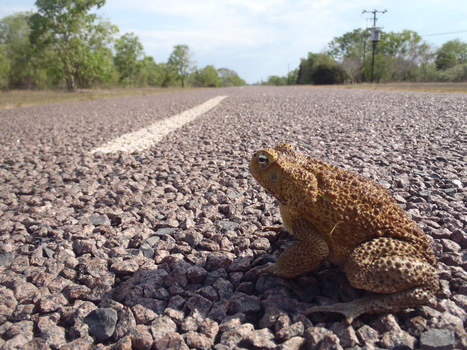 Discovery: Australia's invasive cane toads modify their bodies to conquer new territory faster   Biologie in de klas   Scoop.it