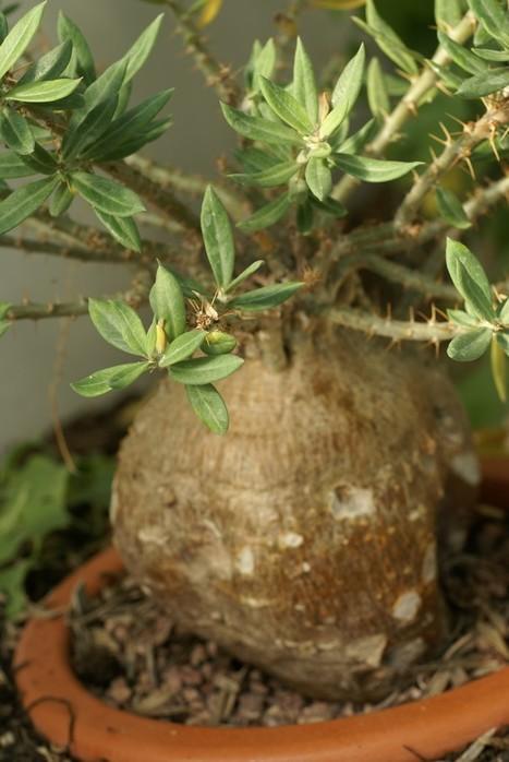 Photo de plante à caudex : Pachypodium bispinosum - Plante succulente caudiciforme - Echites bispinosus   Cactus and Succulents : Photos de cactus et de plantes grasses gratuites et libres de droits   Scoop.it