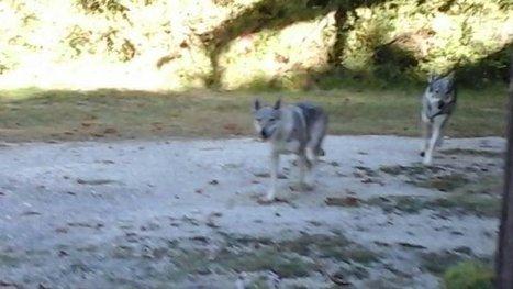 Non, ces animaux photographiés dans le Gers ne sont pas des loups ! | Voyages et Tourisme | Scoop.it
