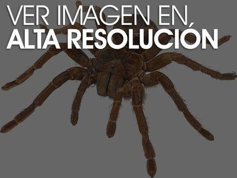 La tarántula Goliath, no apto para aracnofóbicos | CURIOSIDADES TECNOLOGICAS | Scoop.it