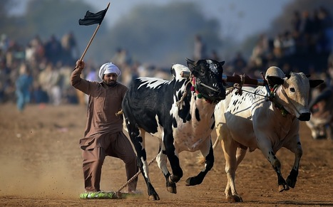 Traditional Bull Race in Khunda, Pakistan in HD Pictures | World News | Scoop.it