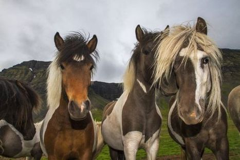 The Horses of Iceland | Utterly horses | Scoop.it