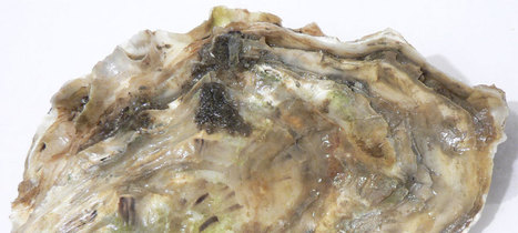 Opening oyster shells the Mesolithic way | Mégalithismes | Scoop.it
