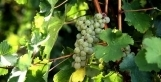 Vous avez aimé le Monbazillac... Alors vous aimerez aussi... | Chefs et vins | Scoop.it