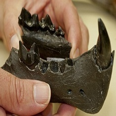 5-Million-Year-Old Saber-Toothed Cat Fossil Discovered in Florida | Geology | Scoop.it