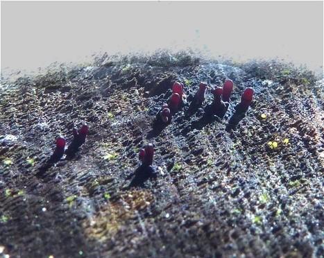 Photo d'Ascomycète : Pézize charnue - Coryne dubia - Ascocoryne sarcoides - Purple Jellydisc -  Téléomorphe - Anamorphe - Pirobasidium sarcoides | Faaxaal Forum Photos gratuite Faune et Flore | Scoop.it