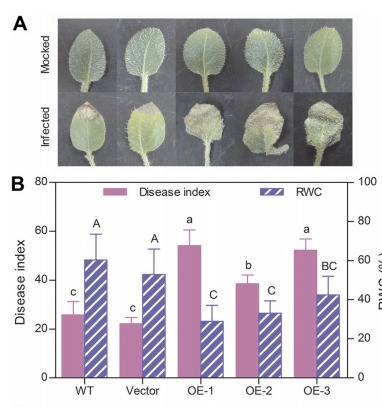 Overexpression of potato miR482e enhanced plant sensitivity to Verticillium dahliae infection - Yang - 2015 - Journal of Integrative Plant Biology - Wiley Online Library | plant-microbe interactions | Scoop.it