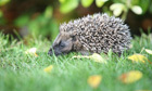 Hogging the limelight: Why hedgehogs need a path through our gardens | 100 Acre Wood | Scoop.it
