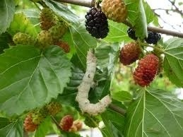 Silk worms on the mulberry tree   Silk   Scoop.it