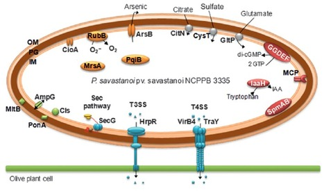 New Phytol. (2012): Identification of novel virulence genes and metabolic pathways required for full fitness of Pseudomonas savastanoi pv. savastanoi in olive (Olea europaea) knots   Effectors and Plant Immunity   Scoop.it