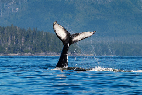 Sonar and whales are a deadly mix | Biodiversity IS Life  – #Conservation #Ecosystems #Wildlife #Rivers #Forests #Environment | Scoop.it