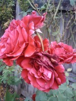 Deadheading – Repeat BloomingRoses | Annie Haven | Haven Brand | Scoop.it