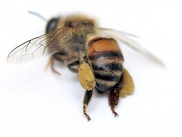 Bayer Raked in $1 Billion in 2010 with Bee-killing Pesticides | YOUR FOOD, YOUR HEALTH: Latest on BiotechFood, GMOs, Pesticides, Chemicals, CAFOs, Industrial Food | Scoop.it