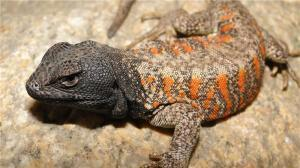 Lizards Facing Mass Extinction from Climate Change | Amazing Science | Scoop.it