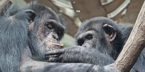 'Love Hormone' Study Yields Big Surprise About Bonding In Chimps | News-actualités | Scoop.it