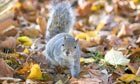 100 years ago: Britain welcomes grey squirrel colonists | Leading for Nature | Scoop.it
