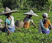 Tetley tea plantation working conditions attacked in report   Sustainable Supply Chains   Scoop.it