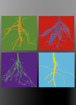 Plant Physiology, Focus Issue on Roots, October 2014 | Plant root and rhizosphere | Scoop.it