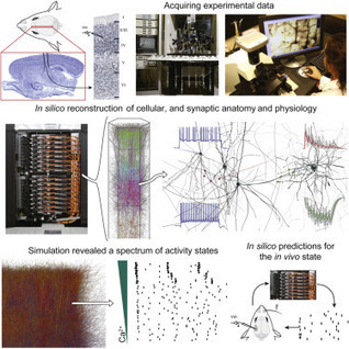 Reconstruction and Simulation of Neocortical Microcircuitry | Social Foraging | Scoop.it