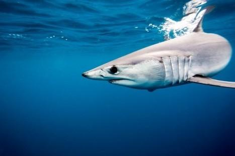 Un Pêcheur blessé par un Requin au large des Landes | Surf Prévention | BABinfo Pays Basque | Scoop.it