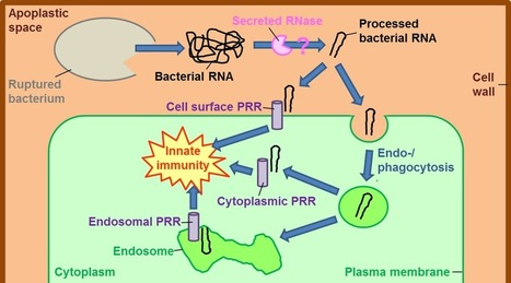 New Phytol.: Bacterial RNA – a new MAMP on the block? (2015) | Effectors and Plant Immunity | Scoop.it