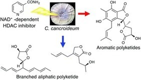 Epigenetic stimulation of polyketide production in Chaetomium cancroideum by an NAD+-dependent HDAC inhibitor | Discovery of Marine Natural Products | Scoop.it
