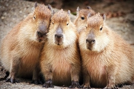 Daily Cute Animal Pictures: The Largest Rodent In The World | Funny Animal Pictures | Scoop.it