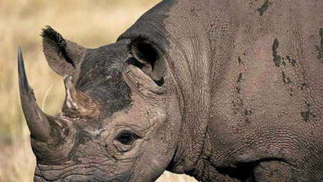 Texas Hunters Will Kill Endangered Rhino In Attempt To Save Them All | Crap You Should Read | Scoop.it