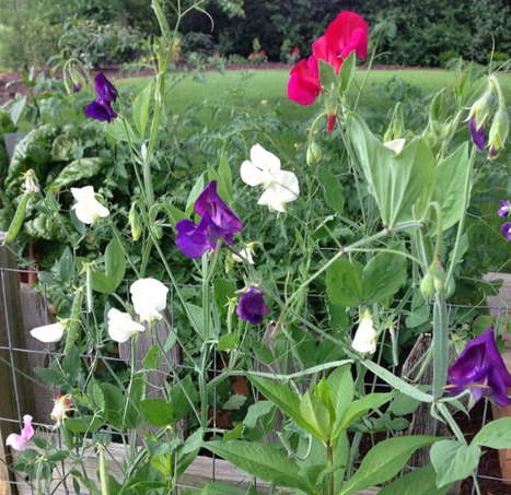 Bloom Thyme Friday: Sweet Peas | Cottage Gardening | Scoop.it