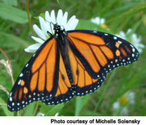 NSTA Learning Center | Monarchs | Scoop.it