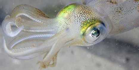 How Humans And Squids Evolved Separately For Millions Of Years But Ended Up With Similar Eyes | Amazing Science | Scoop.it