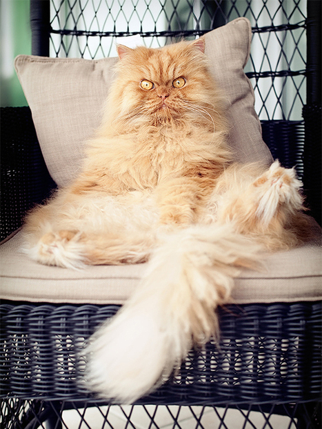 Garfi, The Fluffiest Persian Villain | Animals | Scoop.it